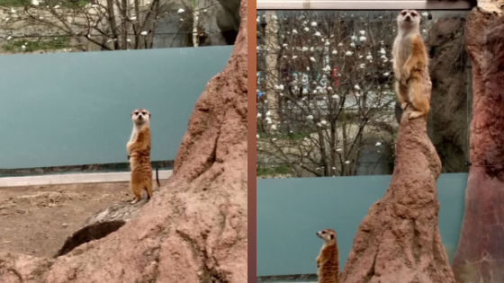Meerkats Get Their Run On at the Cleveland Metroparks Zoo